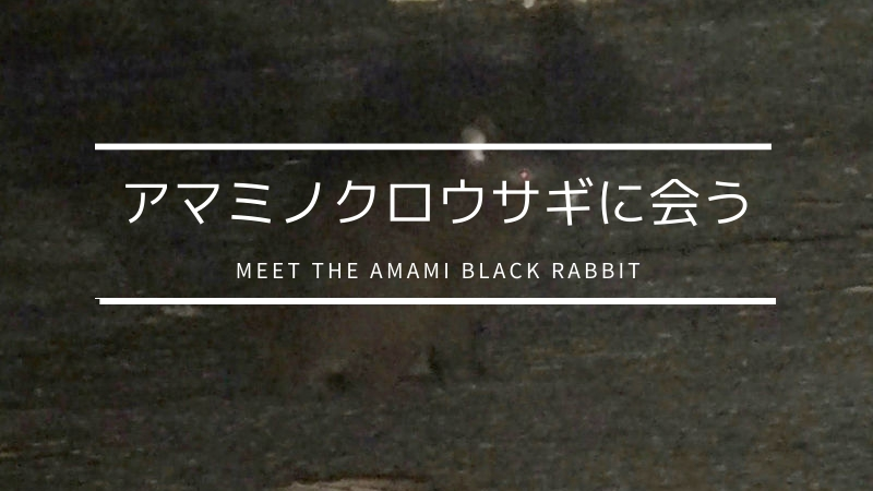 アマミノクロウサギに会う